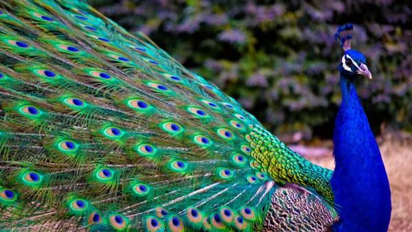 Pavão tem cores exuberantes e pode ser fonte de renda no agronegócio