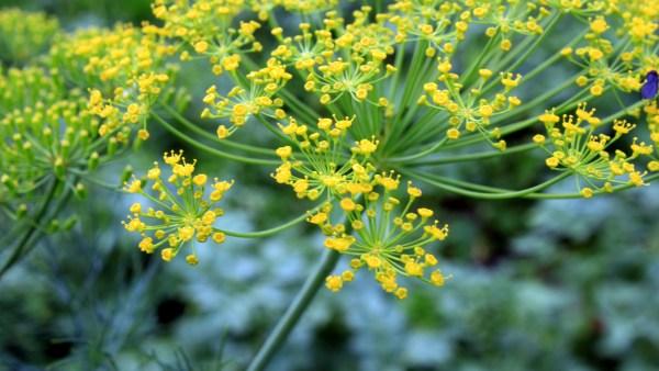 Endro é uma erva oriental muito utilizada em países europeus
