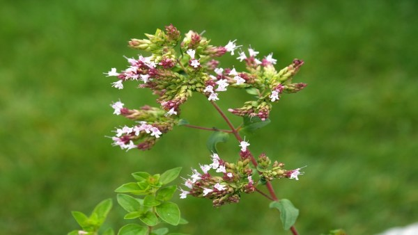 Orégano tem versatilidade como erva medicinal ou tempero de receitas