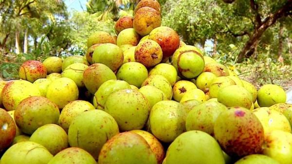 Frutas do Cerrado são ricas em vitaminas e merecem destaque