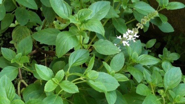 Manjericão é uma das ervas mais populares como tempero no Brasil