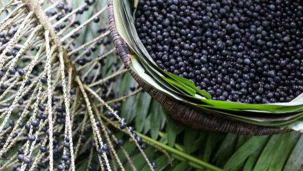 Açaí é fruto nativo da região amazônica e movimenta economia brasileira
