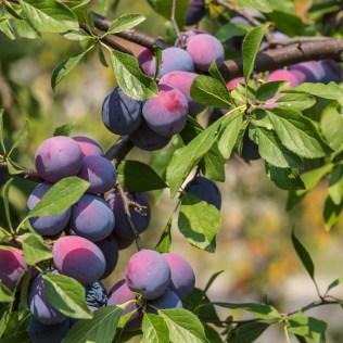 Ameixa é fruto de produção crescente e de qualidade em todo o Brasil