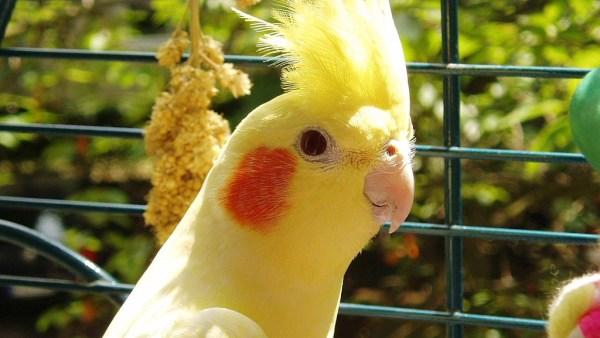Calopsita é ave natural da Austrália que destaca forte presença no Brasil