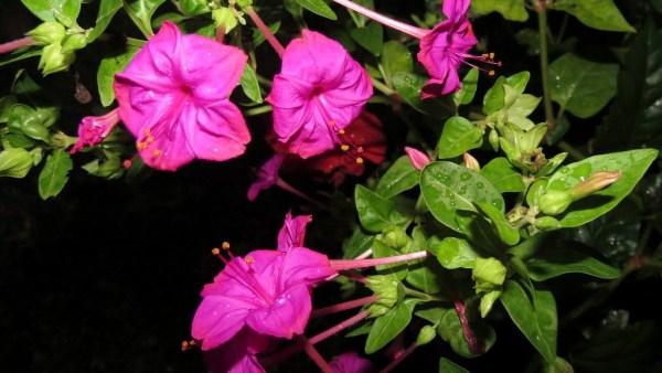 Maravilha é uma planta ornamental originária dos Andes Peruanos