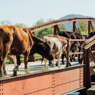 Mata burro e evolução do dispositivo que impede a fuga do gado