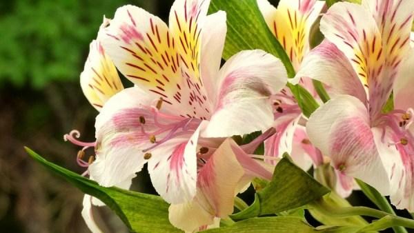 Astromélias são flores que simbolizam felicidade e gratidão