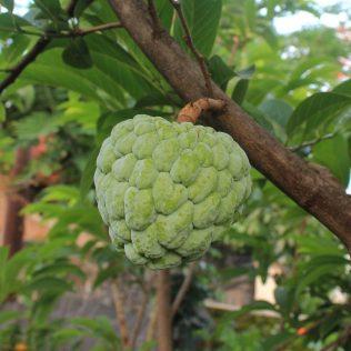 Cherimóia é fruta dos Andes que possui polpa nutritiva e saborosa