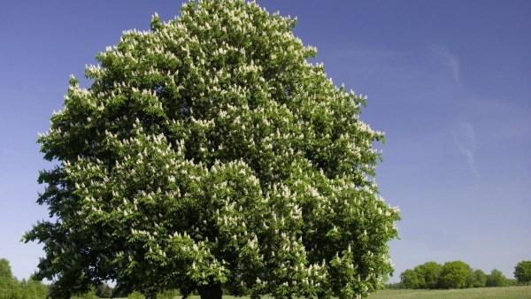 Castanheira é uma árvore de grande porte muito comum em Portugal