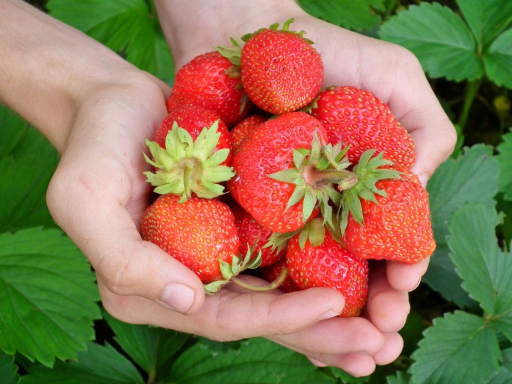 frutas silvestres podem ser facilmente encontradas nas matas