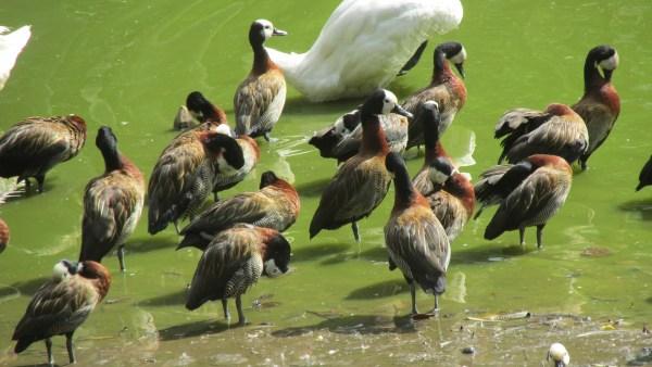 Irerê é ave bela e barulhenta muito conhecida no Brasil