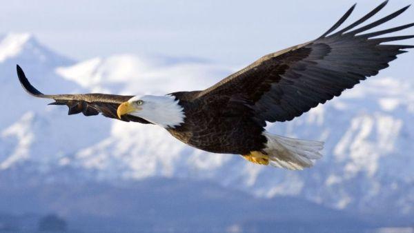 Águia, ave de rapina de grande envergadura, habita altas montanhas