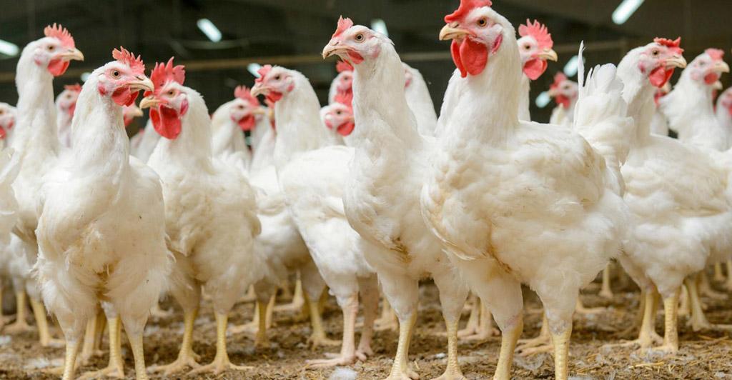Gripe aviária
