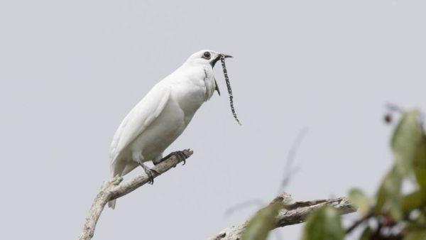 Araponga tem grito alto e estridente, bastante característico