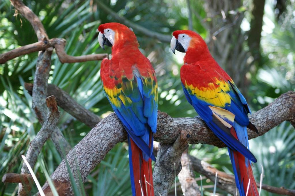 Araracanga pode ser encontrada pela América Latina