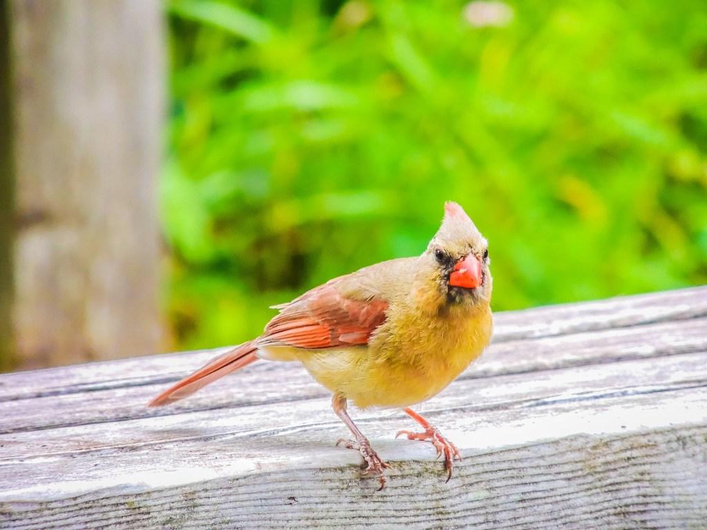 Cardeal amarelo é um pequeno pássaro ameaçado de extinção em algumas regiões