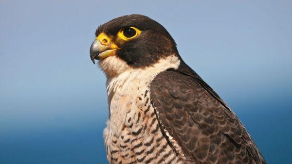 Falcão é nome genérico dado a diversas aves da família Falconidae