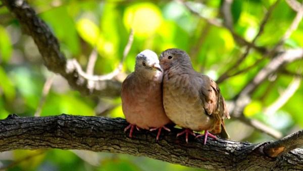 Rolinhas lembram pequenos pombos e podem ser facilmente encontradas