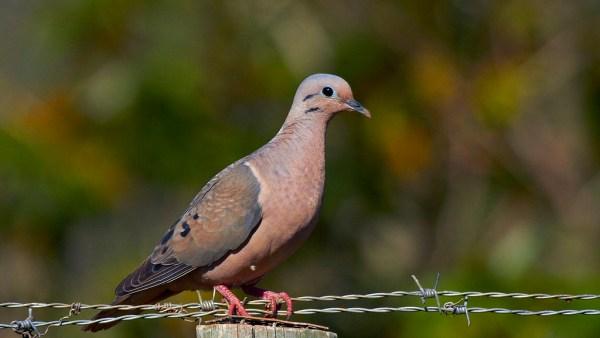 Avoante é uma pomba campestre, comum na região Nordeste do Brasil