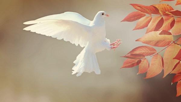 Pomba branca é ave que se tornou o símbolo da paz