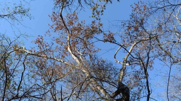 Guarabu, árvore da família das Fabáceas, produz ótima madeira