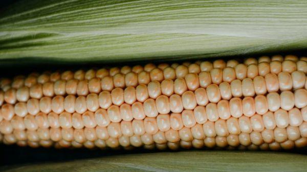 Milho doce é variedade de milho com altos teores de açúcar