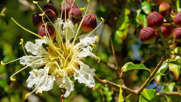 Mirindiba, árvore nativa do Brasil, pertence à família das litráceas