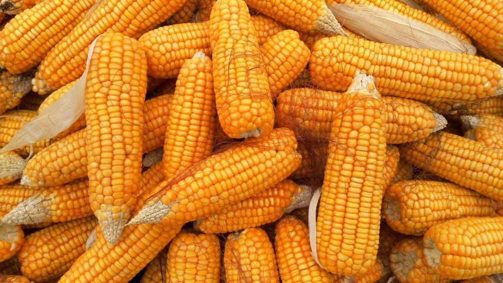 Milho é o cereal base para o angu de milho