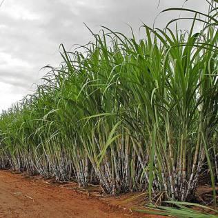 Capineira é área de terra cultivada com gramíneas