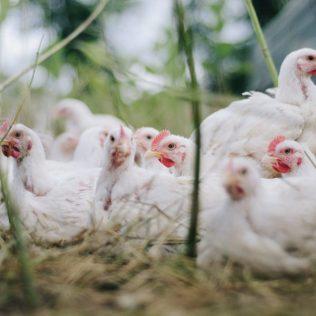 Frango orgânico é alternativa sustentável no mercado da avicultura