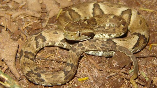 Cobra jararaca é espécie que pode atingir até 1,6m de comprimento