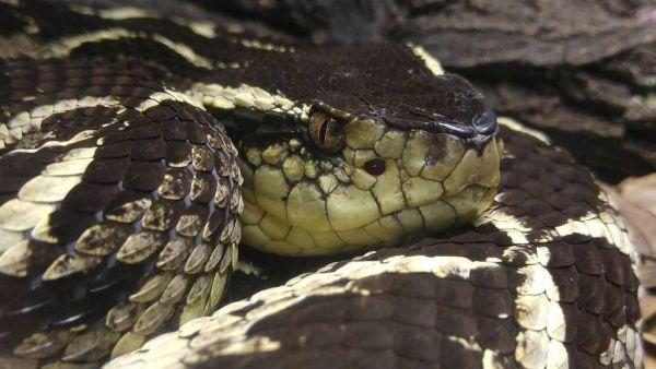 Jararacuçu é uma víbora venenosa de até 2 metros de comprimento