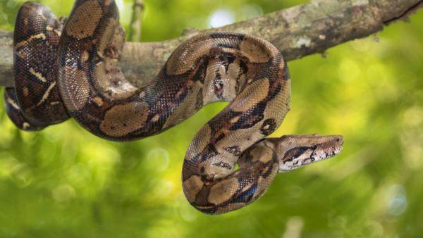 Jiboia é uma cobra que, quando adulta, pode pesar até 15kg