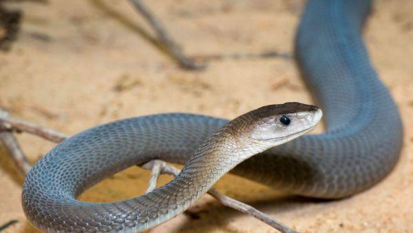Mamba é nome dado a serpentes africanas arborícolas
