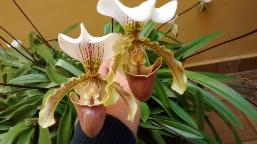 Orquídea sapatinho