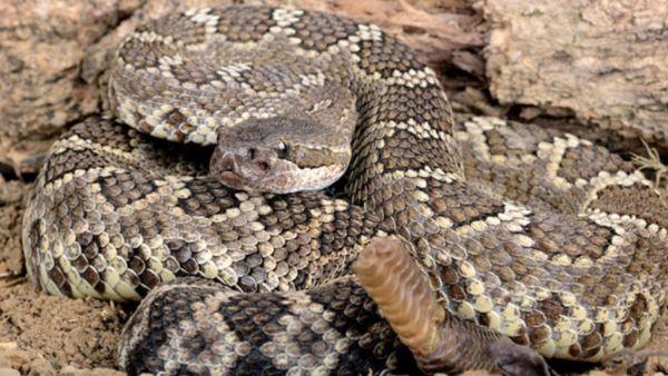 Conheça interessantes tipos de cobras venenosas e não-venenosas