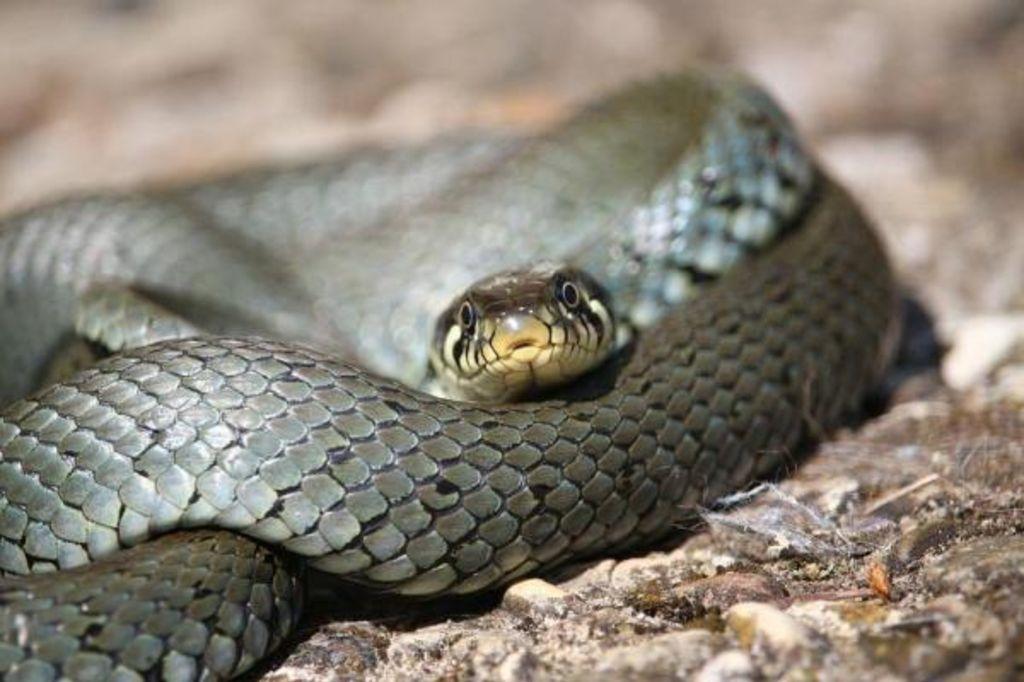 tipos de cobras