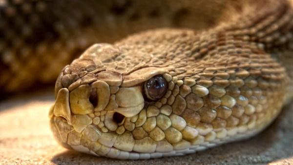 Ofídios são répteis mais conhecidos como serpentes