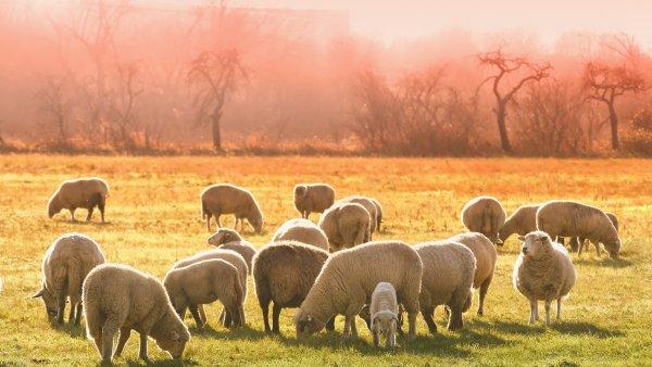Ovinocultura é o termo que designa a criação de ovinos como ovelhas