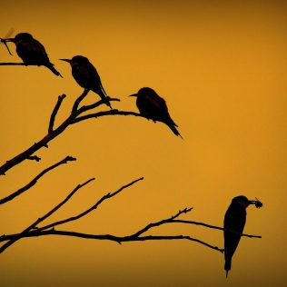 Pitiguari chama atenção por suas cores e canto intenso