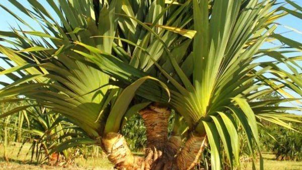 Pândano é nome de árvore tropical de aspecto curioso