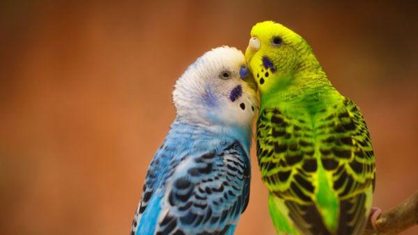 Periquitos são várias espécies da família Psittacidae