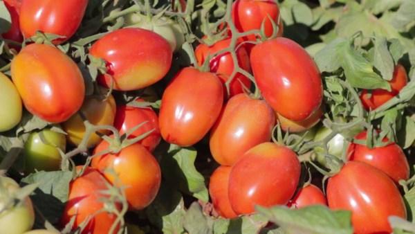 Tomate rasteiro é excelente para uso industrial ou em saladas