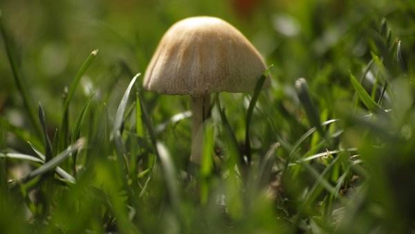 Agaricus blazei é um cogumelo com propriedades medicinais