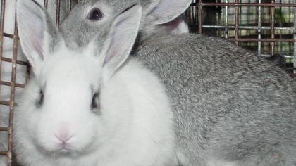 Criação de coelhos, ou cunicultura, é comum no Brasil