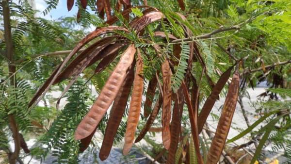 Leucena, nativa da América Central, é uma leguminosa perene