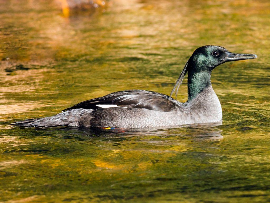 Pato mergulhão