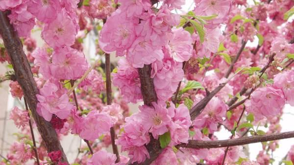 Pessegueiro é árvore de flores roxas que tem origem chinesa