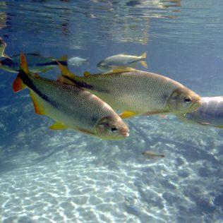 Pirapitinga é um peixe que atinge até 14kg quando adulto