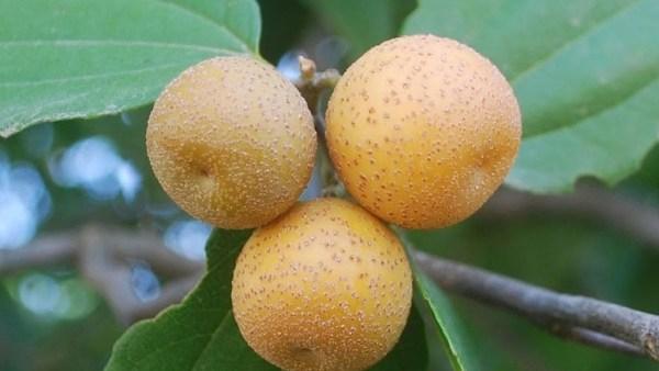 Juá, fruto do juazeiro, é muito comum no Nordeste